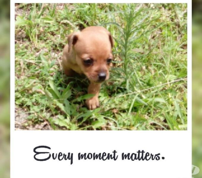 Favorables en venta cachorros pincher mini