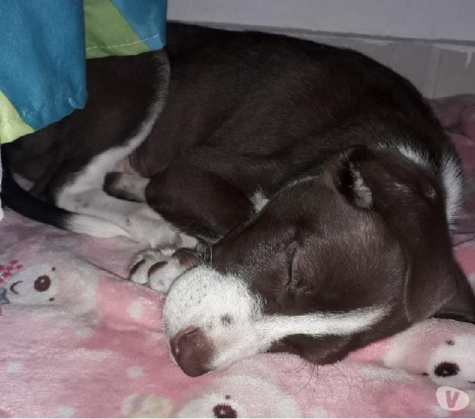 Terrier enrazado en adopcion