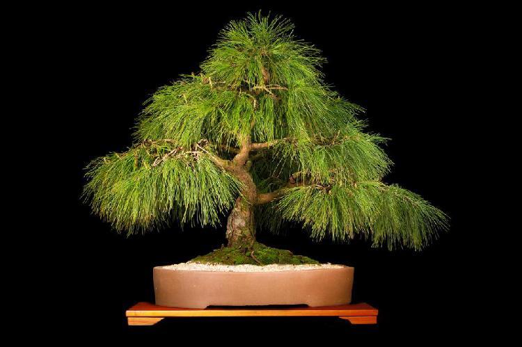 Bonsai de colección de pino 30 años