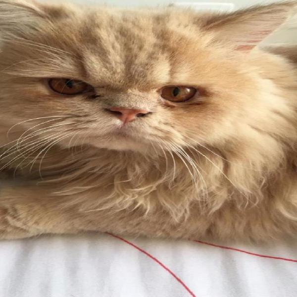 Gato persa amarillo beige joven listo monta necesita novia
