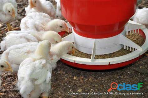 Pollo blancos gigantes de engorde: recriados a 15 días