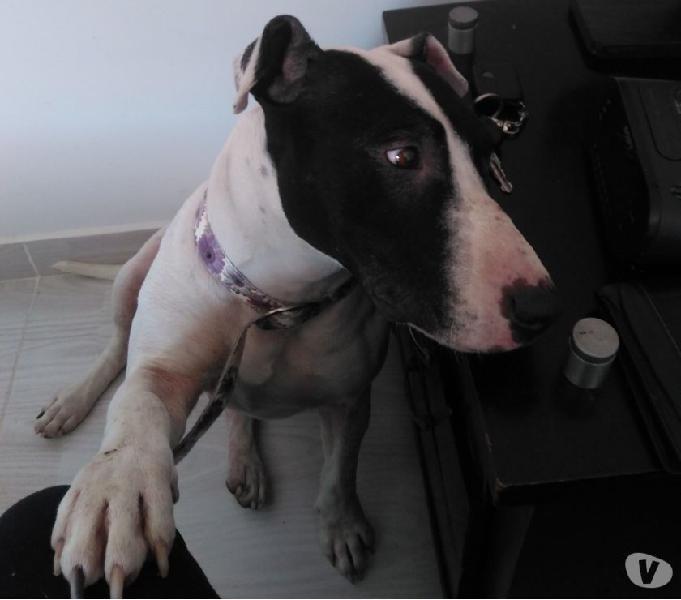 Doy en adopción pitbull terrier de tres años cariñosa