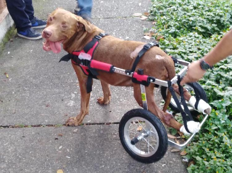 Sillas de ruedas para perros grandes