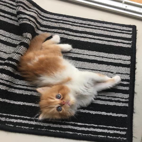 Gato persa a la venta