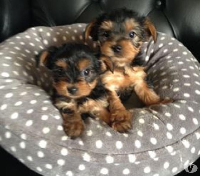 Hermosa Raza Mini Yorkie Cachorros Disponibles