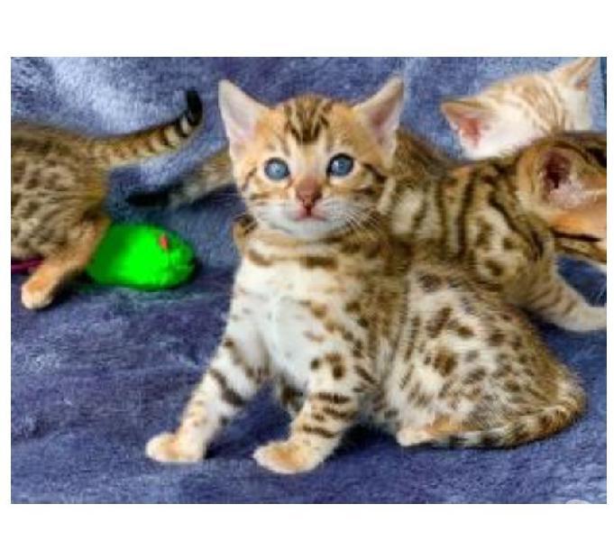 Llegan Gatos Bengali Garantizados Disponibles Hermosos