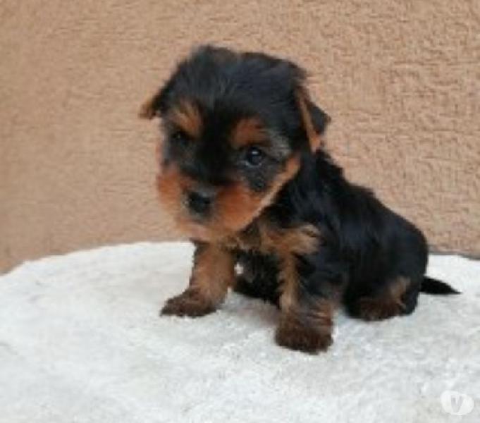Yorkie Raza Miniatura Cachorros Disponibles