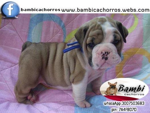 Bulldog ingles familiares cachorros