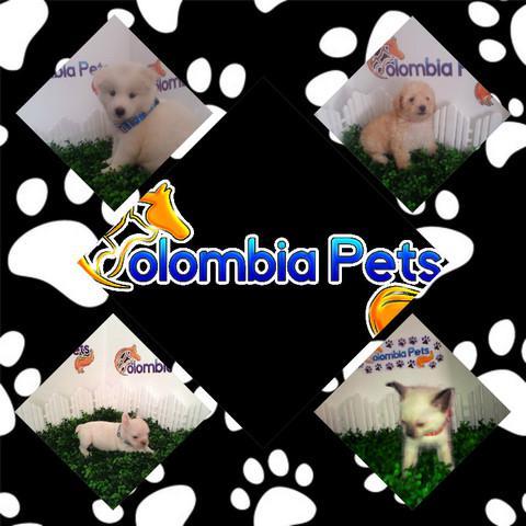 Colombiapets razas certificadas pureza garantizada
