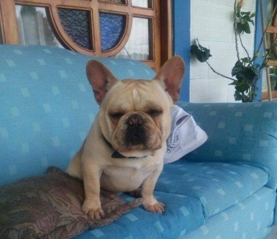 Hermoso ejemplar bulldog frances fawn mini disponible para