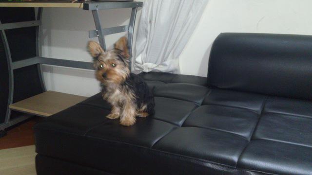 Hermoso cachorrito yorky de tres meses de nacido.