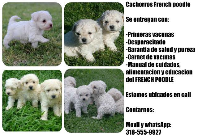 Mascotas de raza french poodle mini toy disponibles