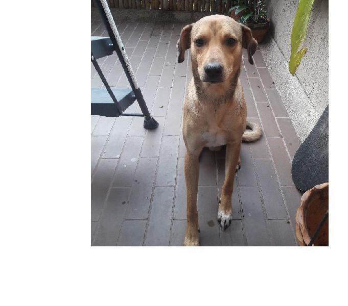 Doy en adopcion perrito amarillo cruce labrador criollo 14 m
