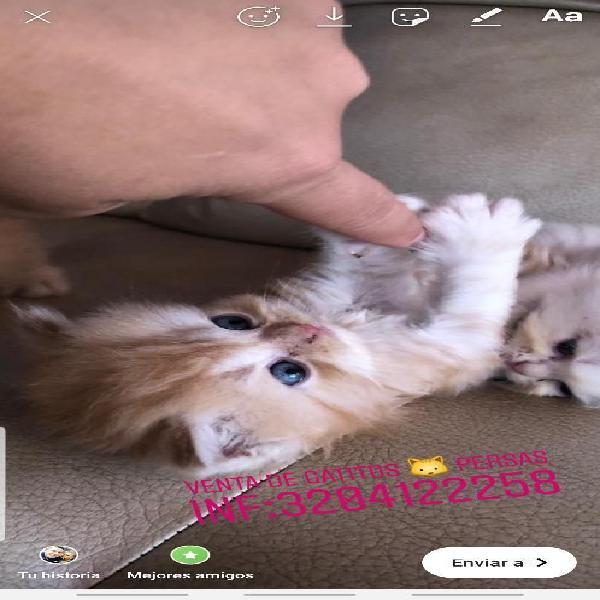 Venta de gatos persas