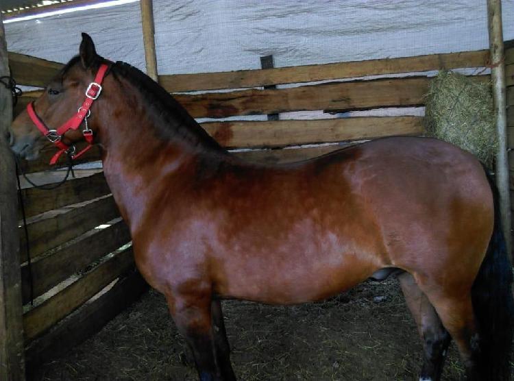 Vendo hermoso caballo capn con registro