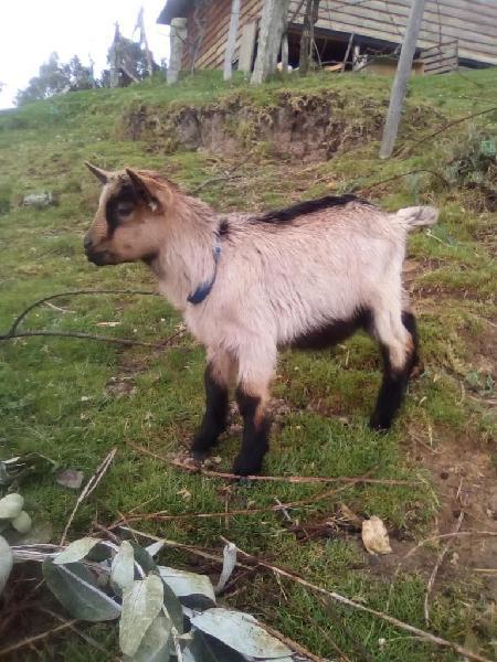 Vendo cabritos - cabretones y cabro, cabra machos, chivitos