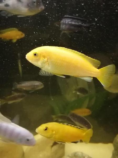 Venta de hermosos peces ciclidos / pagas contraentrega / muy