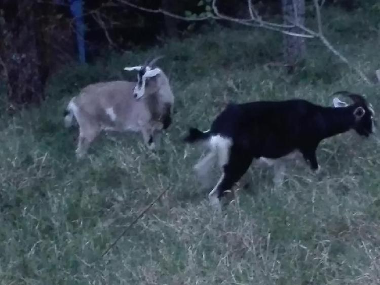 Vendo saldo de cabras lecheras baratas en bello