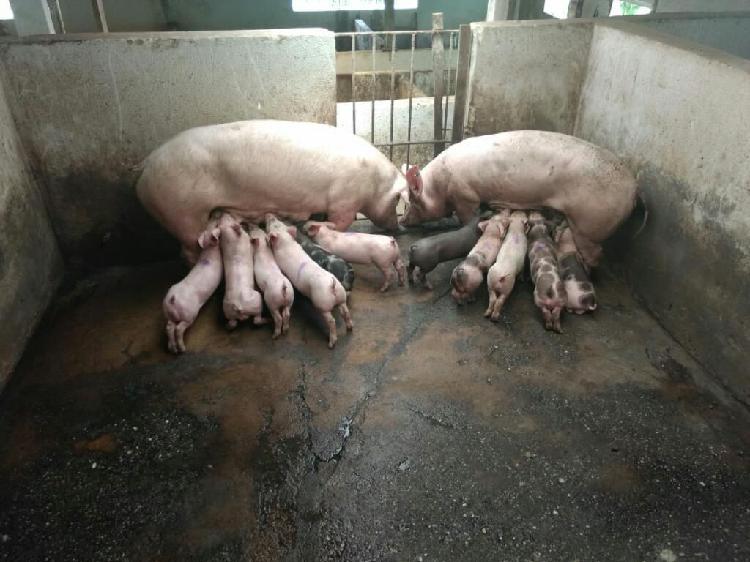 Venta de cerdos lechones