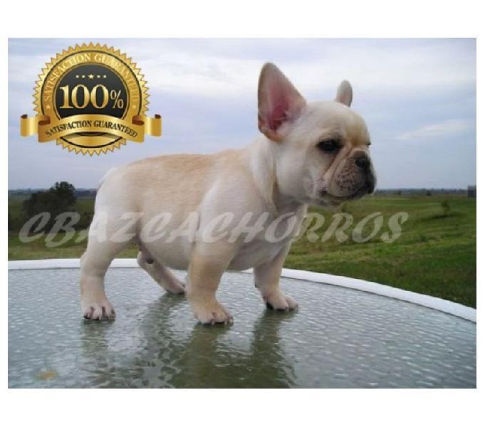 impresionantes cachorros bulldog francés machitos FAWN 4M