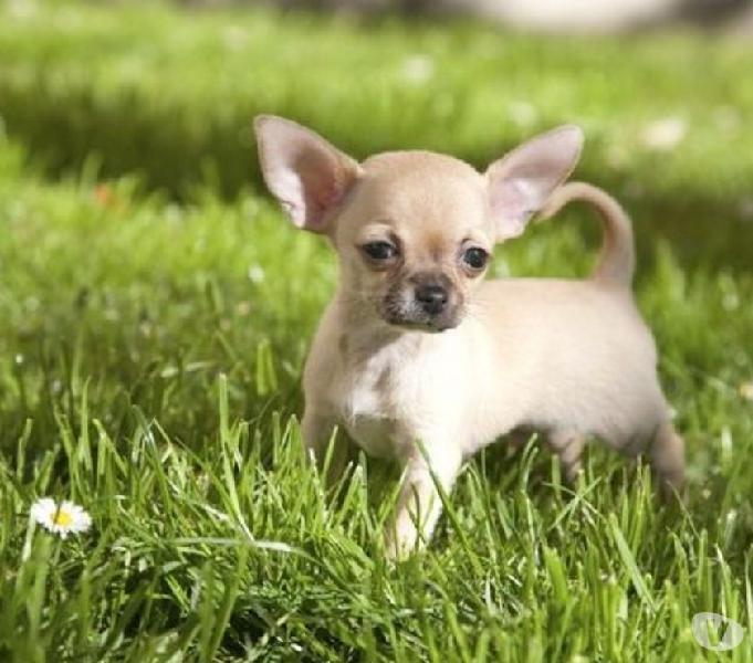 Chihuahua Cachorros Disponibles Hermosos