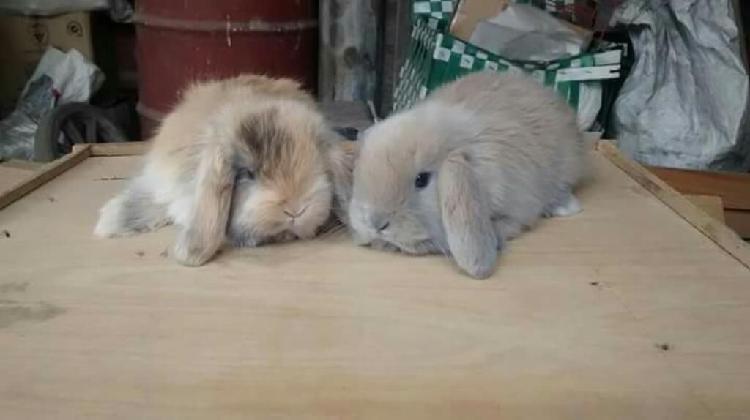 Conejos enanos mini lop o belier