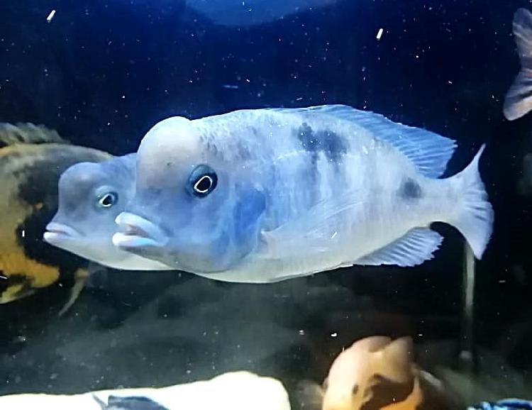 Venta de peces bogota y alrededores / gran variedad /