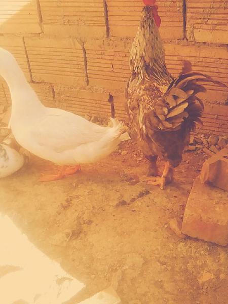 Vendo pato y gallo 80.000