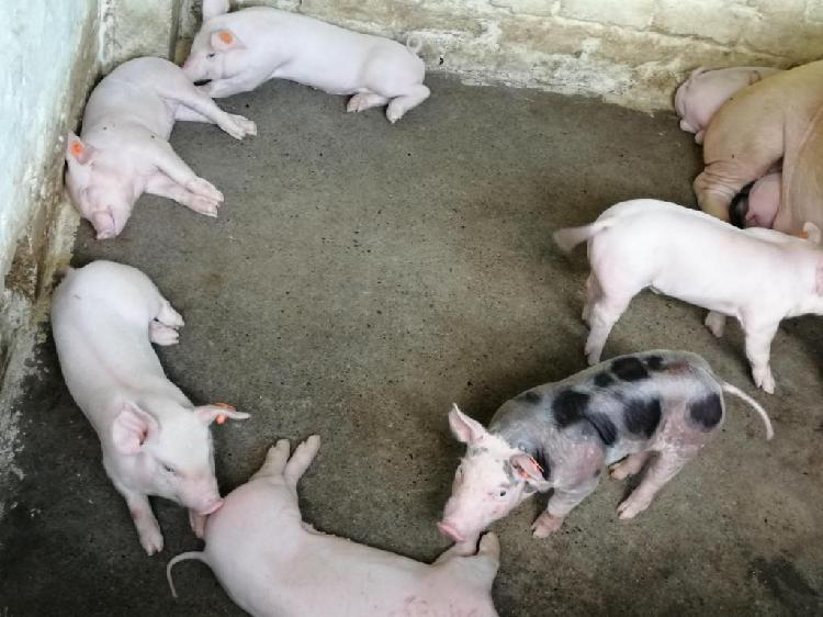 Se venden cerdos destetos a 110.000