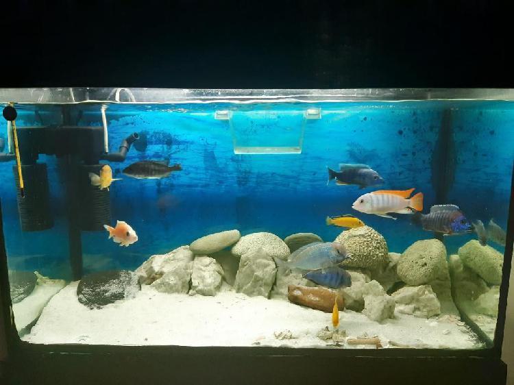 Acuario pecera ciclidos africanos peces