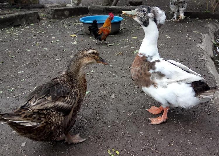 Pareja de patos chileno-pequinés