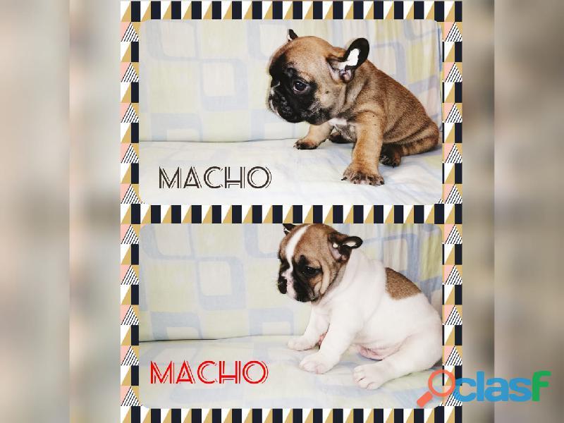 Bulldog francés machos pura raza en venta.