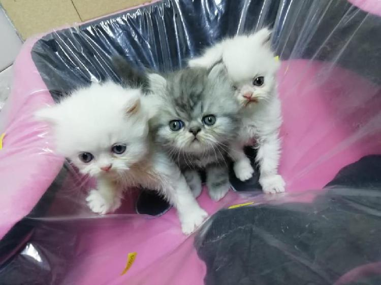 Espectaculares gatos persa