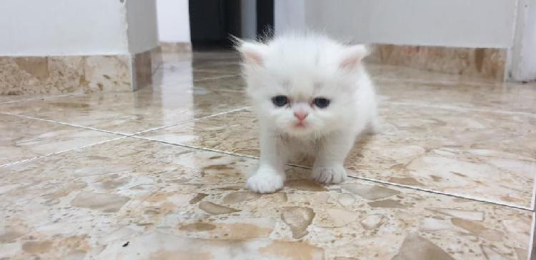 Gato persa, 2 meses