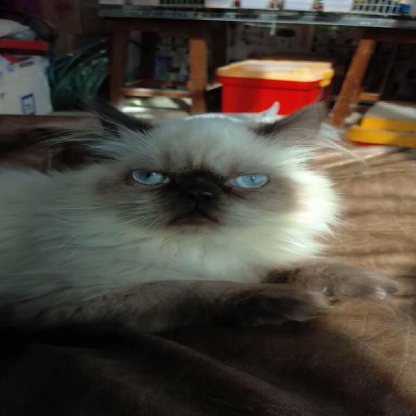 Gato persa himalaya