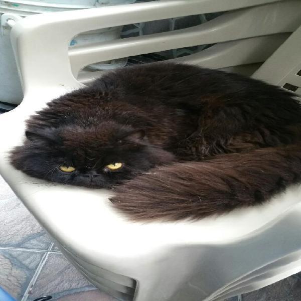 Gato persa macho monta