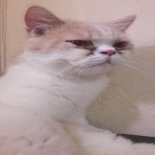 Gato persa exotico a la venta