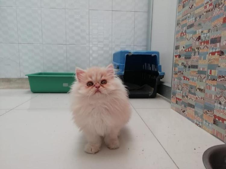 Gatos persas macho y hembra