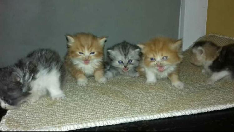 Vendo excelentes ejemplares gatos persa