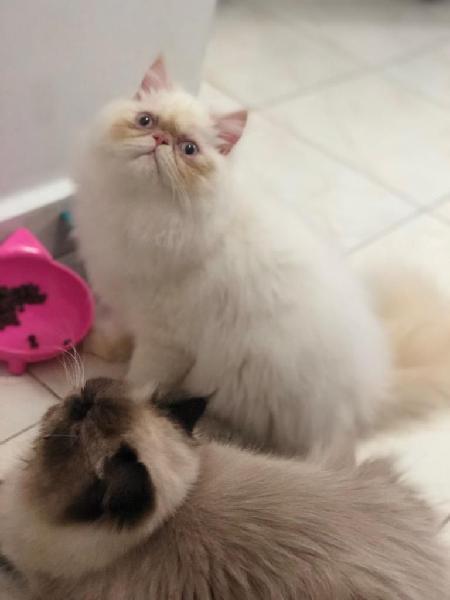 Vendo gato persa himalayo creampoint