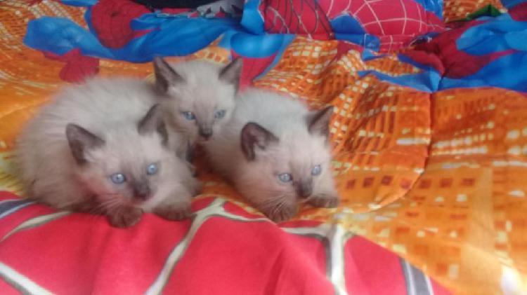 Gaticos siameses 2 meses de edad ya comen y van al arenero