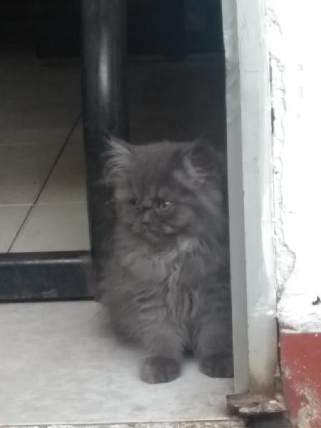 Gato persa machito