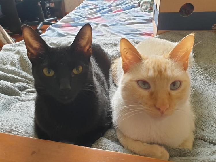 Gatos siames año y medio domestic esteri
