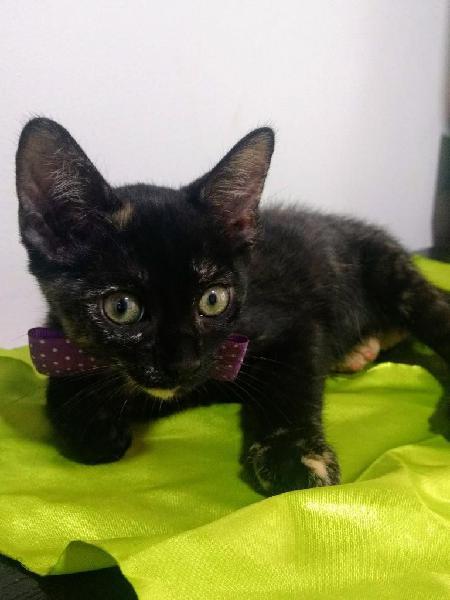 Hermosa gatica carey para adopción