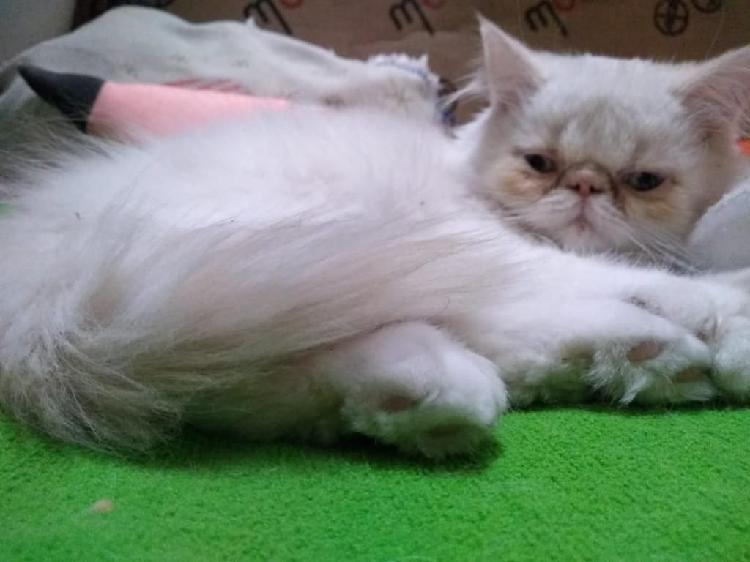Hermosa gatica persa extrema