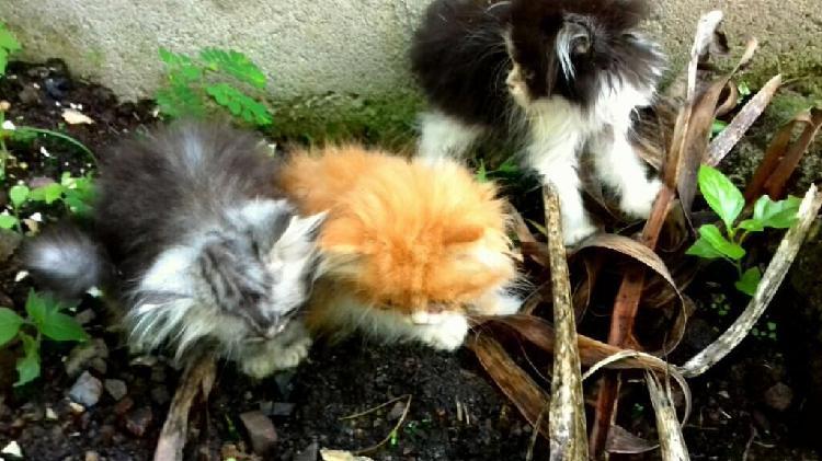 Vendo excelentes gatos persa.gatos.gata