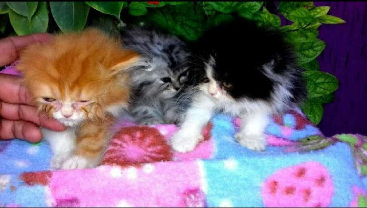 Vendo hermosos gatos persa
