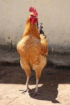 Pollo peruano recriado a 15 días