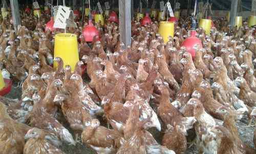 Venta de pollas ponedoras de 16 semanas para octubre.