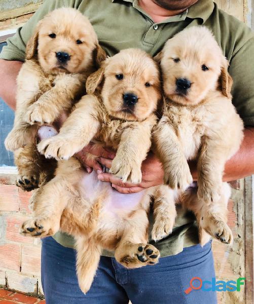 Busco adoptar un cachorro golden retriever macho